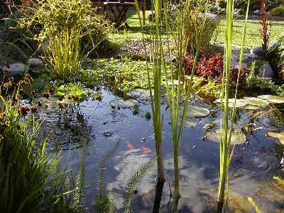 Vandplanter til havedam